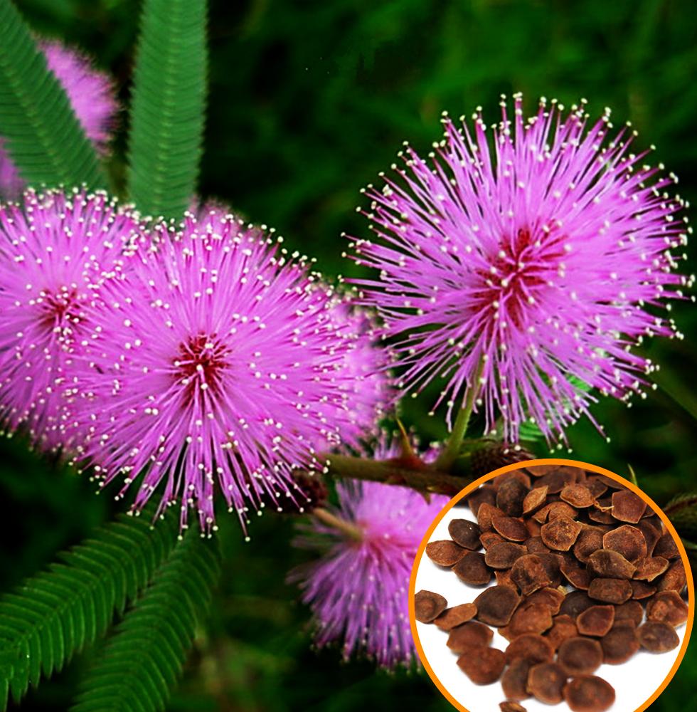 Mimosa-seedsinset